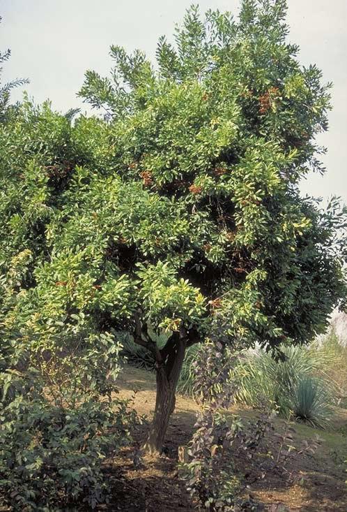 Firewheel Tree Tree Selection Landscape Plants