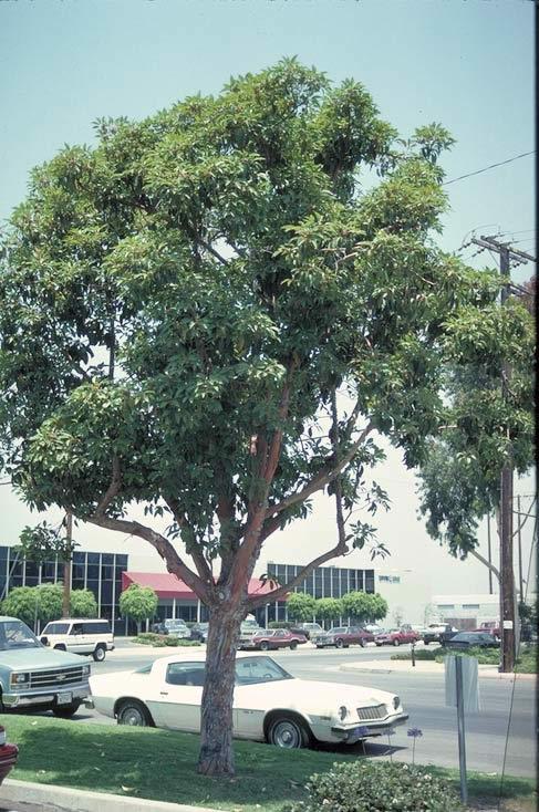 Brisbane Box - Tree selection - Landscape plants - Edward ...