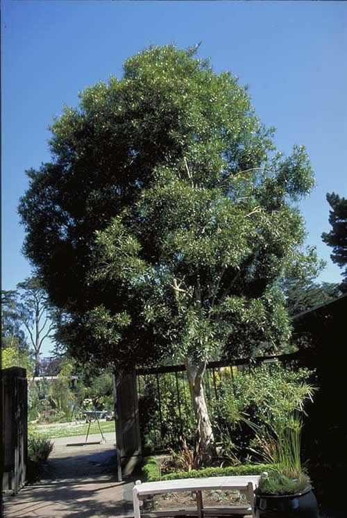 Tristania Tree Selection Landscape Plants Edward F