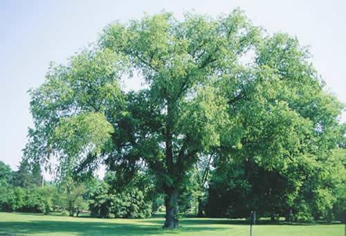 American elm tree selection landscape plants edward for American elm