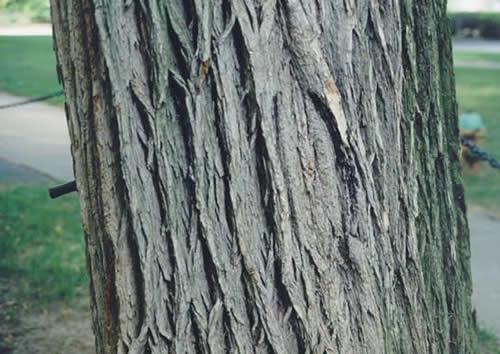 american elm - tree selection - landscape plants