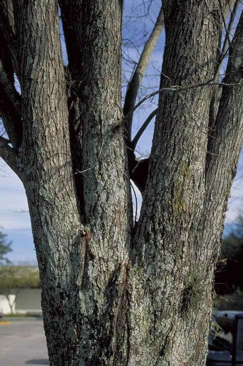 Florida Elm Tree Selection Landscape Plants Edward F Gilman Uf Ifas
