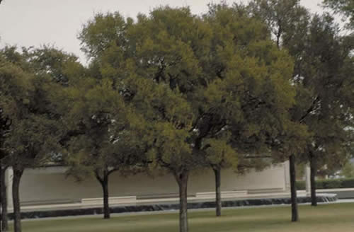 cedar elm - tree selection - landscape plants