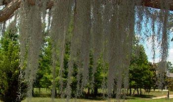 Spanish Moss Maintenance Landscape Plants Edward F