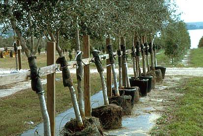 Root Systems Nursery production Landscape plants Edward F