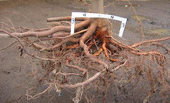 Lateral Root Spread Roots Growth After Planting Roots