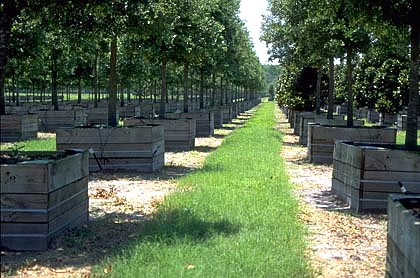 Shade Trees In Containers