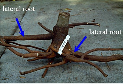 Root Depth Root Growth After Planting Roots