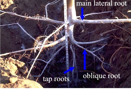 Roots Can Go Deep On Young Trees