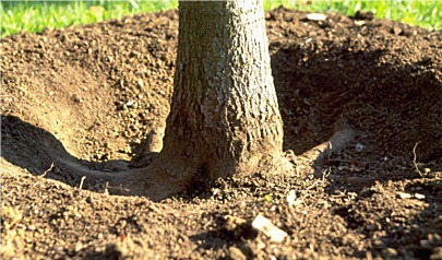 Effects from deep planting - Roots and planting trees ...