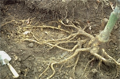 roots exposed