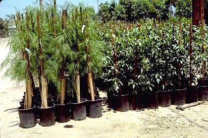 Staking Nursery production Landscape plants Edward F Gilman