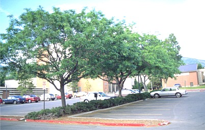 Parking lots urban design landscape plants edward f gilman uf ifas - Treehouses the absolute freedom ...