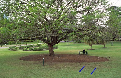 Root spread on shade trees & Root Conflicts - Urban Design - Landscape plants - Edward F ...