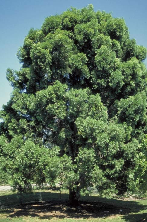 Which Trees Are Used To Make Paper: Weeping Podocarpus